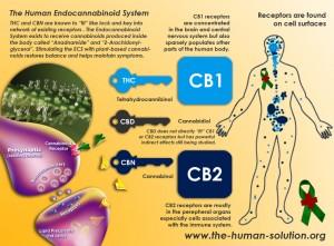 Endokanabinoidny system tela