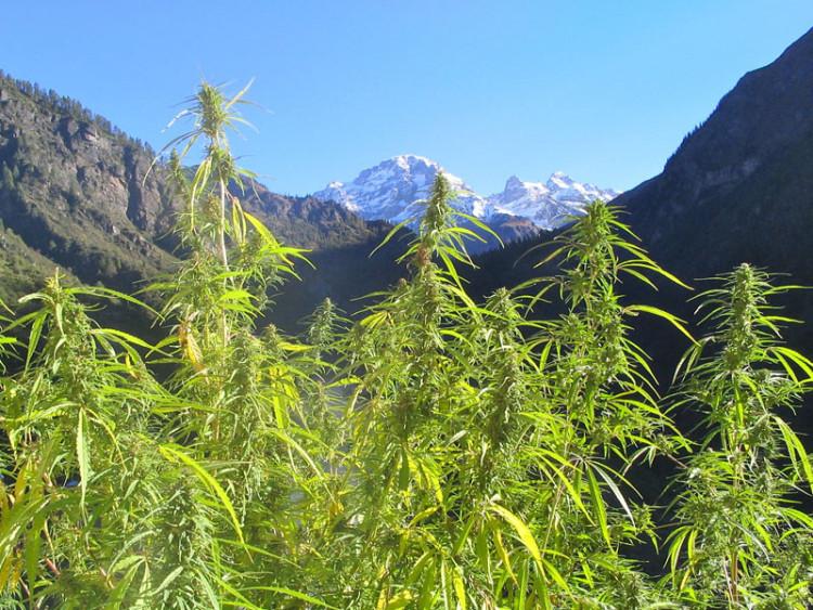 wild-cannabis-himachal-pradesh-india-by-finn-mckenna