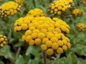 Helichrysum_basalticum_2
