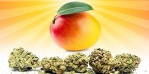 cannnabis mango