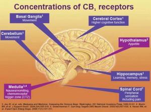 koncentracia receptorov